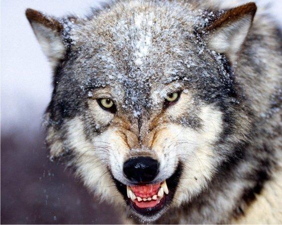 фото оскал волка
